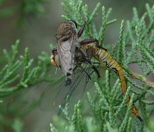 Robberfly taking a large dragonfly