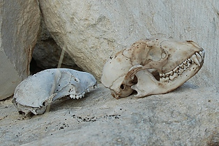 Two skulls for comparison