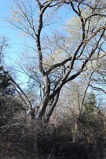 Early spring elm