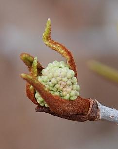 Rusty Blackhaw Viburnum bud