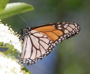 worn-monarch-viburnum221