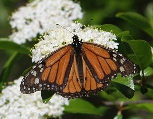 worn-monarch-viburnum232