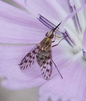 spot-winged-fly257
