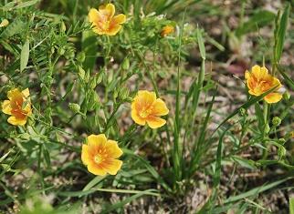 stiff-stem-prairie-flax058