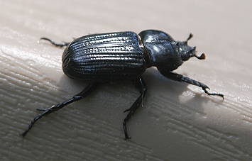 mystery-beetle225
