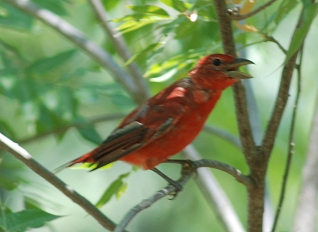 summer-tanager-m063