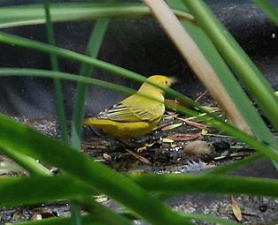 yellow-warbler362