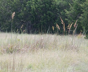 Indian-grass-seedheads234