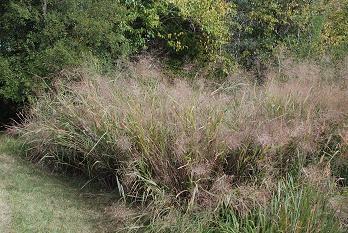 switchgrass-garden338
