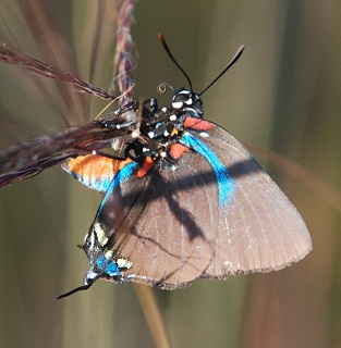 great-purple-hairstreak278