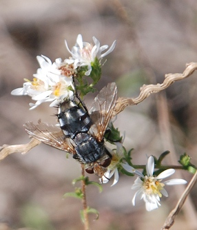 lg-resize_unk-fly-heath-aster062