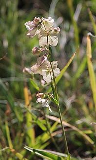 sm-mirabilis-alba-flower075