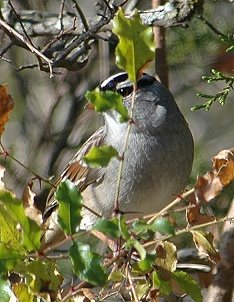white-crowned_sparrow198