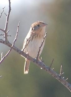 LeConte's-sparrow160