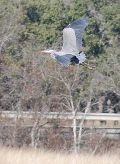 great-blue-heron-flight171