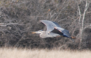 great-blue-heron-flight173