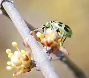 cucumber-beetle-elbowbush273