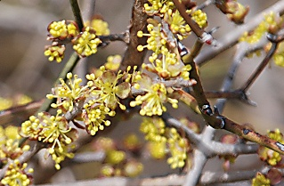 elbowbush-flowers269