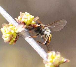sm-fly-elbowbush274