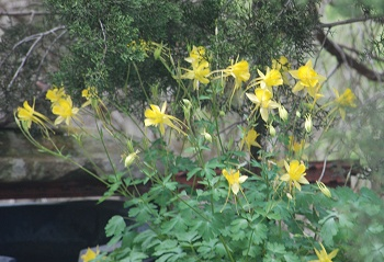 columbines-Owl-water251