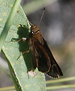 dark-skipper091